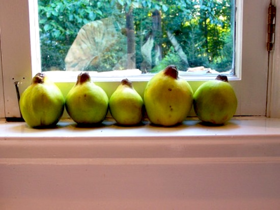 Quinces on windowsil