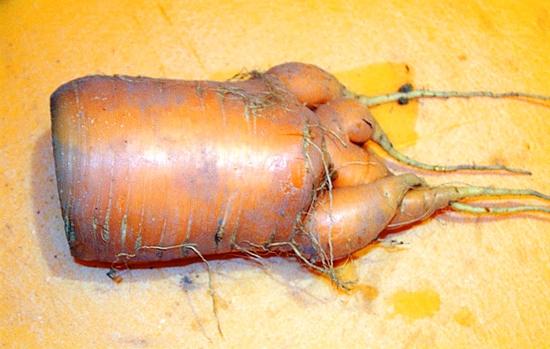 Big Carrotv2